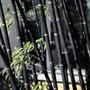 Bambu Negro 50 Semillas