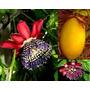 Passiflora Quadrangularis-alata Pasionaria-maracuya De Fruto