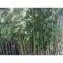 Cañas Tacuara ( Bambú) De De Todas Las Medidas