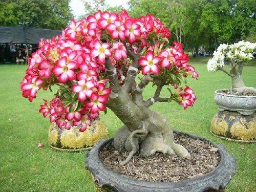 Flor Do Deserto Rosa Do Deserto Mudas De Flor Do Deserto R 4490