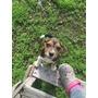 Cachorros Beagle Enanos
