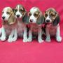 Oferta !!! Cachorras Beagles , Padres Con Pedigree Fcm