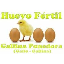 10 Huevo Fertil Gallina Ponedora Rhode Island Gigante Leghor