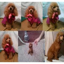 Ultima Y Linda Cachorrita French Poodle Rojo Apricot Minitoy