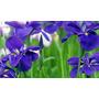 20 Sementes Violeta Rainha Africana Bonsai