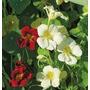Exóticas Flores Enredaderas- Nasturtium Día Y Noche