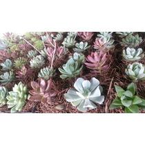 Plantas Mini Suculentas, Solo Mayoreo, No Hacemos Envios