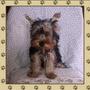 Cachorro Yorkshire Terrier Macho Con Pedigree