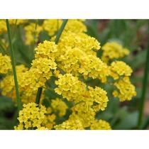 10 Sementes De Alyssum Amarela Flor De Mel