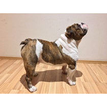 Bulldog Ingles Red Brindle Piebald Sangre Pura, Para Monta