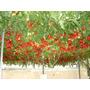 Semillas Árbol Tomate Italiano