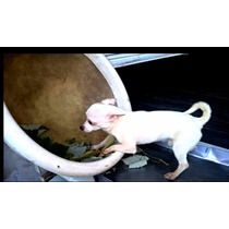 Chihuahua Macho ,blanco, Fotos Actuales