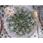 Semillas De Cactus Gymnocalycium Saglionis