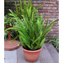 Plantas: Helechos, Lazos De Amor, Planta Del Dólar/dinero