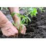 Planta De Tomate Platense X10 Uni- Berenjena-morron-organico