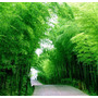40 Semillas De Bambu Mosso Gigante .