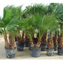 Hermosas Palmeras, Washingtonia, Phoenix Y Abanico.