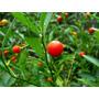 Cerezo De Jerusalen - Solanum Pseudocapsicum - Semillas
