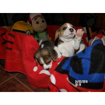 Beagle Machos Y Hembras Disponibles