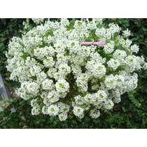 700 Sementes Da Flor De Mel - Alyssum Branco Tapete De Neve