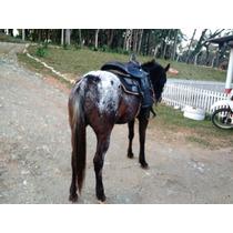 Cavalo Egua Raça Appalosa 8 Anos Vende Ou Troca