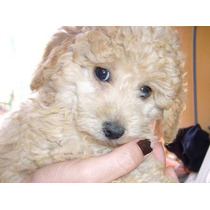 French Poodle Caniche Enano Cachorro