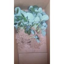 Plantas De Fresa Cantidad De 5 Envío Gratis