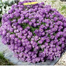 Sementes De Alyssum Violeta Flor De Mel Lobularia Pendente