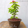 Bonsai Santa Rita Duranta Palo Borracho N3p