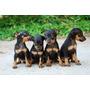 Pinscher (doberman Miniatura) Cachorritos Adorables