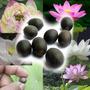 8 Semillas Flor De Loto