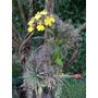 Orquídea Nativa Flor Patito Y Otras Epífitas- Liana Natural