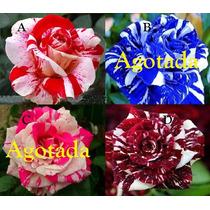 100 Semillas De Rosas Exóticas Color A Escoger