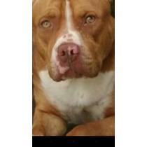 American Pitbull Terrier Monsteres
