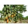 100 Sementes Do Mamão Formosa Maxdiver Gigante * Envio Já