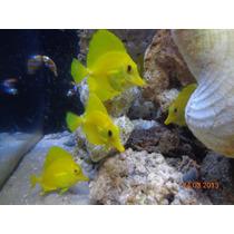 Peixe Marinho Yellow Tang 7 A 8 Cm Doctor Discus