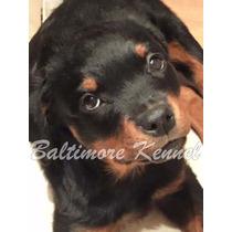 Cachorro Rottweiler Macho Fca , Mejor Criadero 2015!