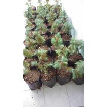 Pinus Maximartinezzi Pino Azul Mexicano Piñonero
