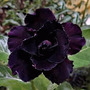 Semillas De Rosa Del Desierto - Flor Doble Negra