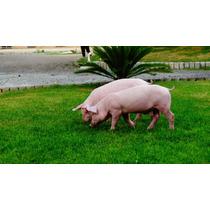 Lechones, Cerdos, Pie De Cría F1 Landrace - York 36 Kg