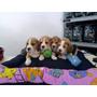 Cachorro Beagles Tricolor