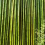 Cañas De Bambu Tacuara 10 Unidades 4/6 Cm X 5 Mts Largo