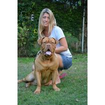 Dogo De Burdeos, Cachorros Sangre De Campeones