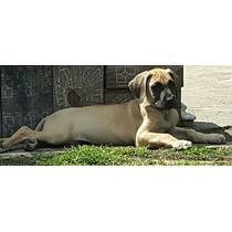Hermosos Cachorros Bayos De Excelente Genetica Con F.c.a