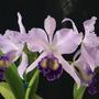 Orquídea Lc. Dinard Blue Heaven