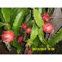 Pitayas Mudas Vermelha E Branca Enraizadas