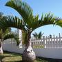 Mudas De Palmeira Garrafa - Hyophorbe Lagenicaulis