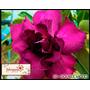 5 Sementes De Rosa Do Deserto ( Double Violet) +frete Grátis