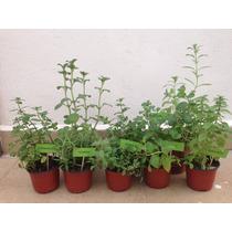 Planta Aromatica Menta Hierbabuena Albahaca Stevia Romero Or