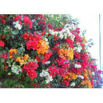 Bugambulias De 2 Colores Planta